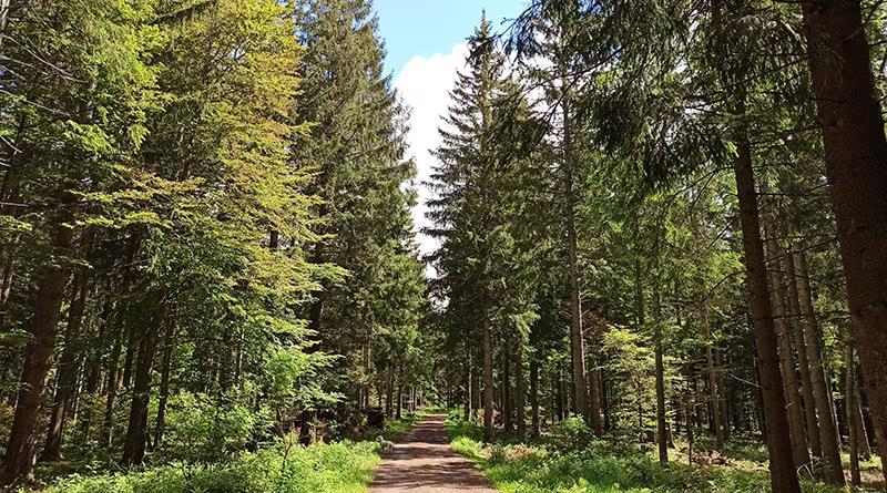 Waldweg am Kandelfgipfel