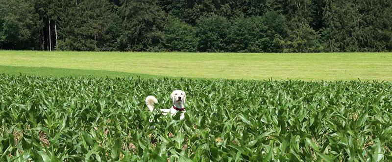 Mila im Maisfeld auf dem Zweitälersteig